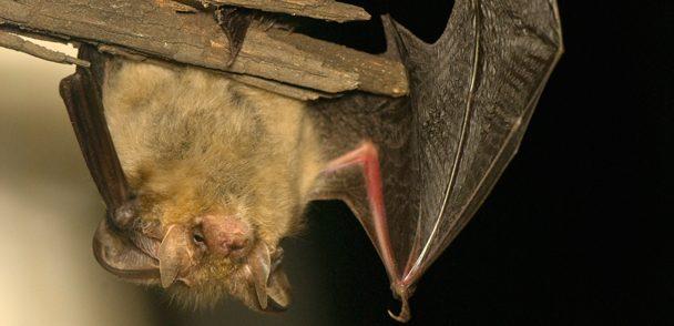 Bat-Habitat