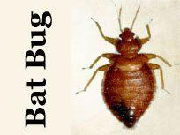 Bat Bug