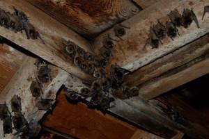 Bats in attic