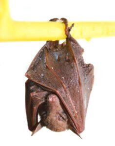 Sleeping-Bat-Sm
