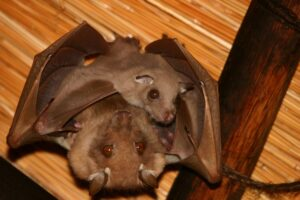 Two Bats - Mother and Baby