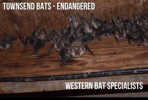Bats Batcolony Townsend Allrightsreserved Batland Batsofinstagram Batman Westernbatspecialists Batspecialists Welovebats Batsarecool Batfacts